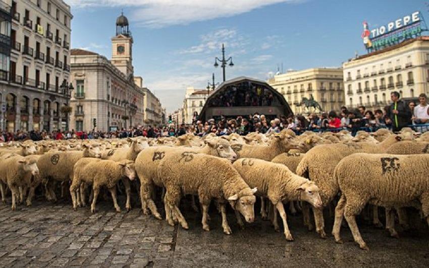 sheep cross Spains capital