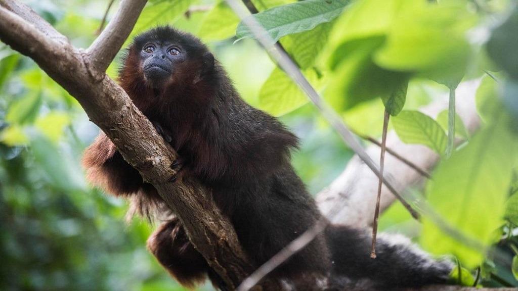 strange extinct rat legged tree monkey